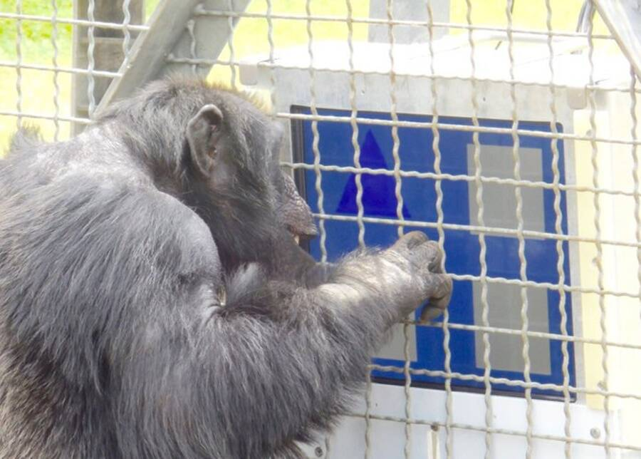 monkey playing computer game 1